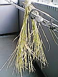 バケツ稲づくり:稲かり