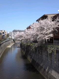 神田川の桜の下を散歩します