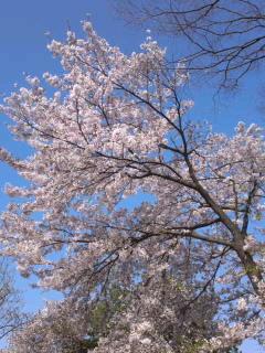吾妻PAの桜